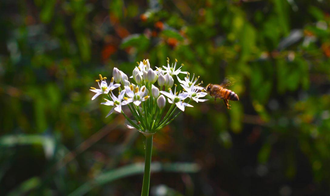 bee friendly yard pic 2